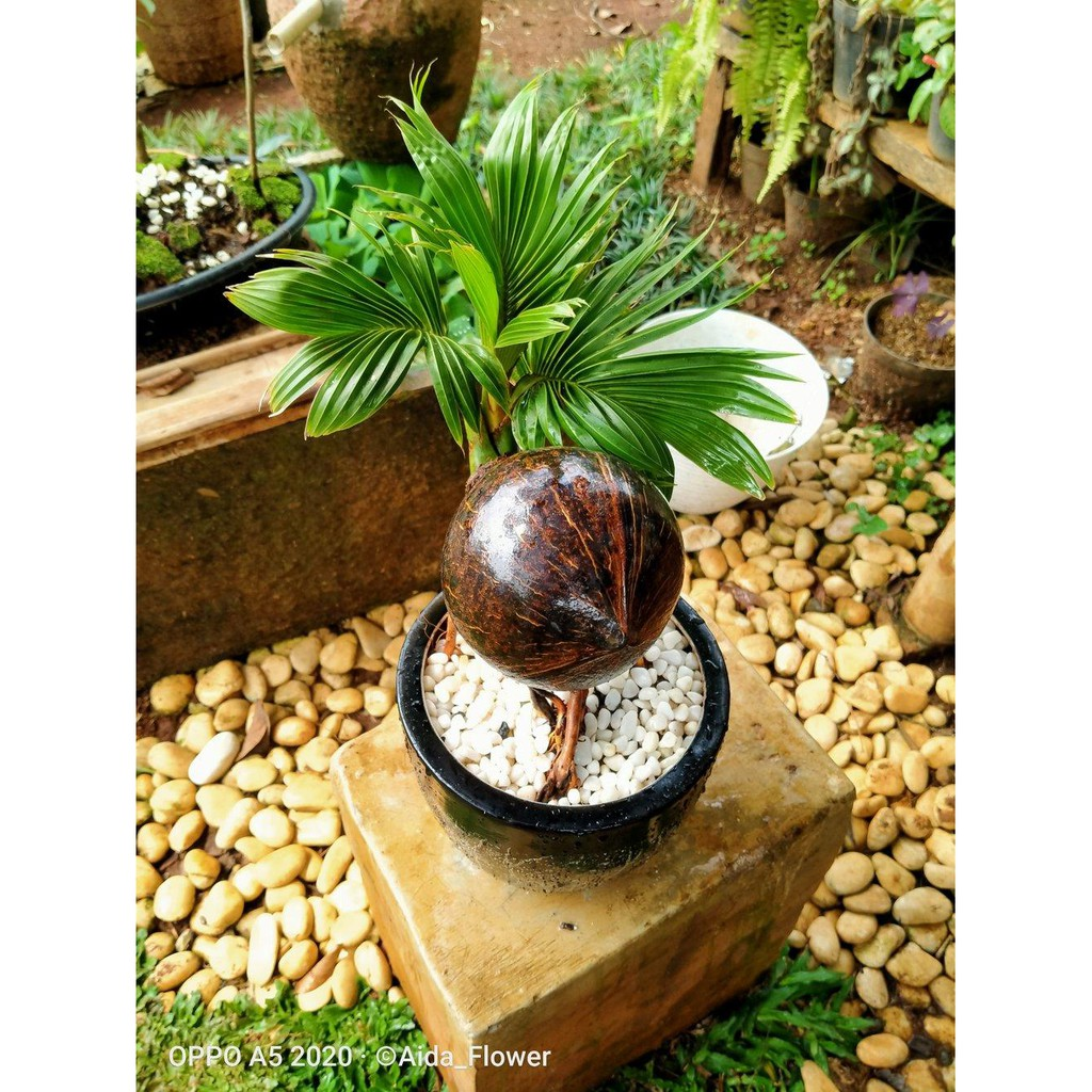 Laris Bonsai Kelapa Kerdil Limited Shopee Indonesia