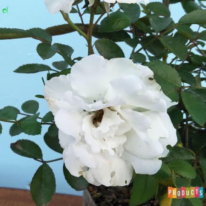 Tanaman Bunga Mawar Baby Rambat Warna Putih Ukuran Besar Shopee Indonesia