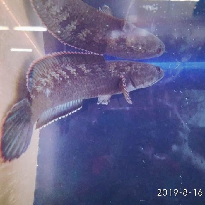 Channa Orca Marulioides