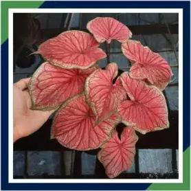bibit tanaman hias keladi red jaguar/caladium/bunga Thailand