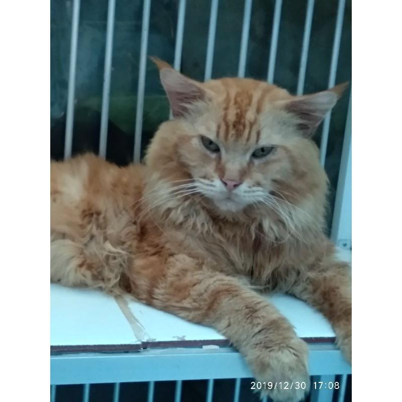 Pedigree Cfa Kucing Mainecoon Jantan Dewasa Shopee Indonesia