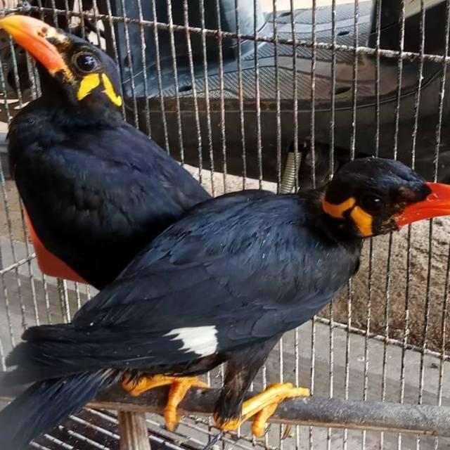 Burung Beo Bahan Shopee Indonesia