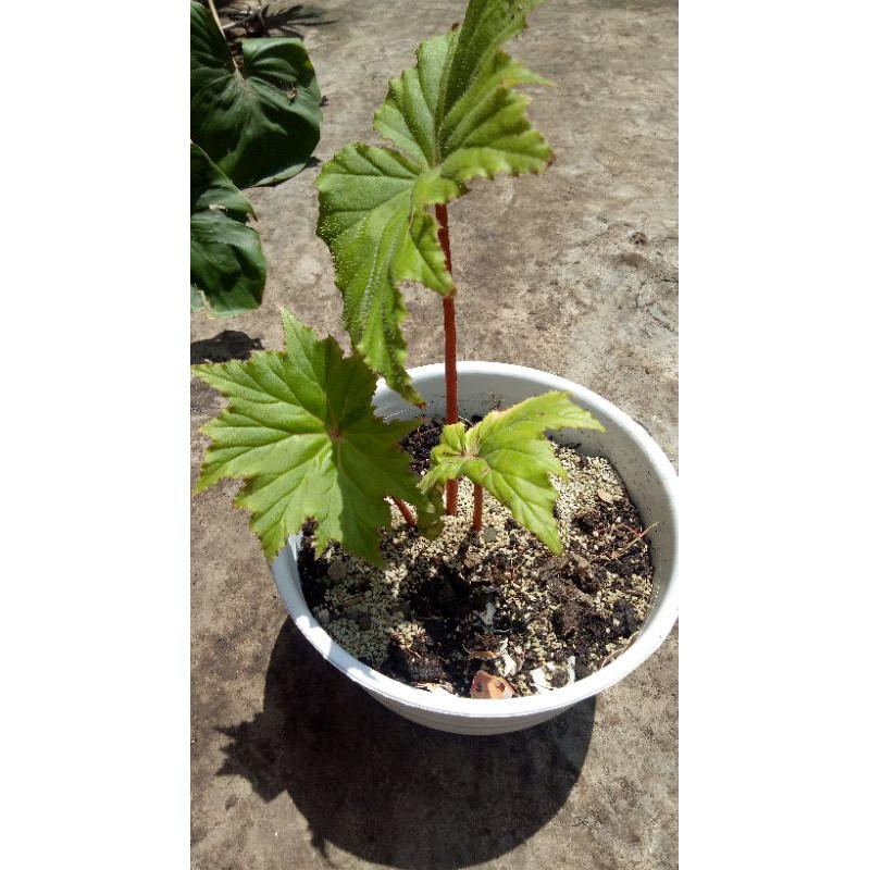 Begonia Palmata/Begonia daun lancip