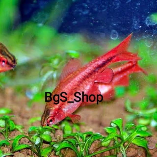 Ikan Cherry Barb Shopee Indonesia