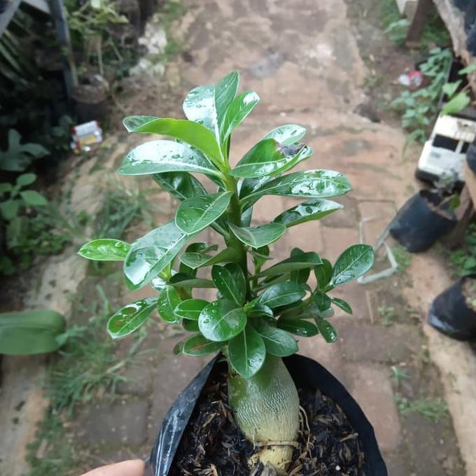 _ Bonsai Adenium Arabicum-Bibit Tanaman Bonsai Adenium Arabicum