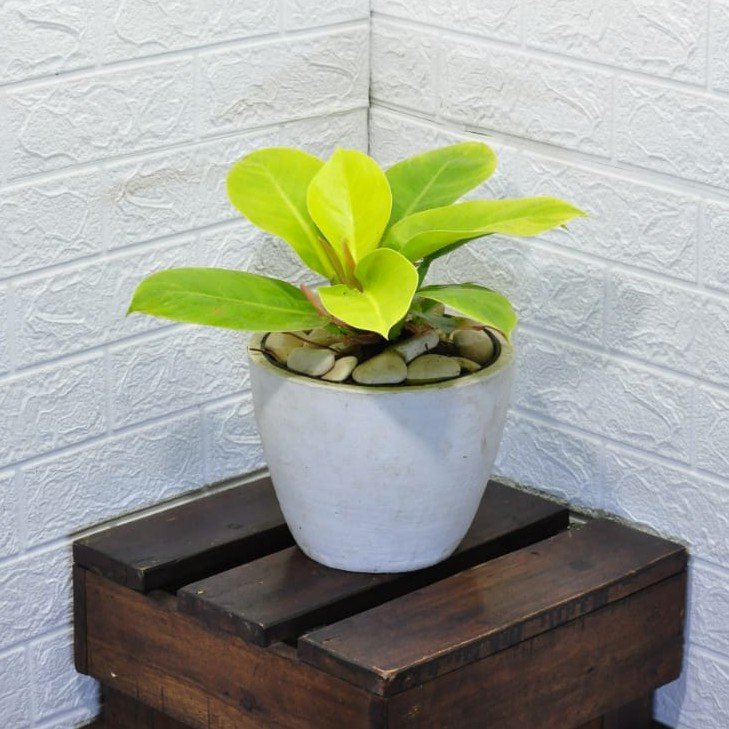 Tanaman Philodendron Moonlight Philo Lemon Shopee Indonesia