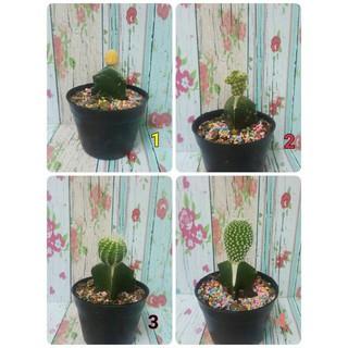 Mainan Anak Lucu Kaktus Mini