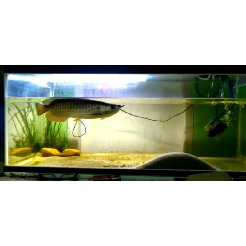 Ikan Arwana SUPER GOLDEN RED 40cm+Sertifikat