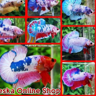 Ikan Cupang Fancy Candy Marble Male Full Block Shopee Indonesia