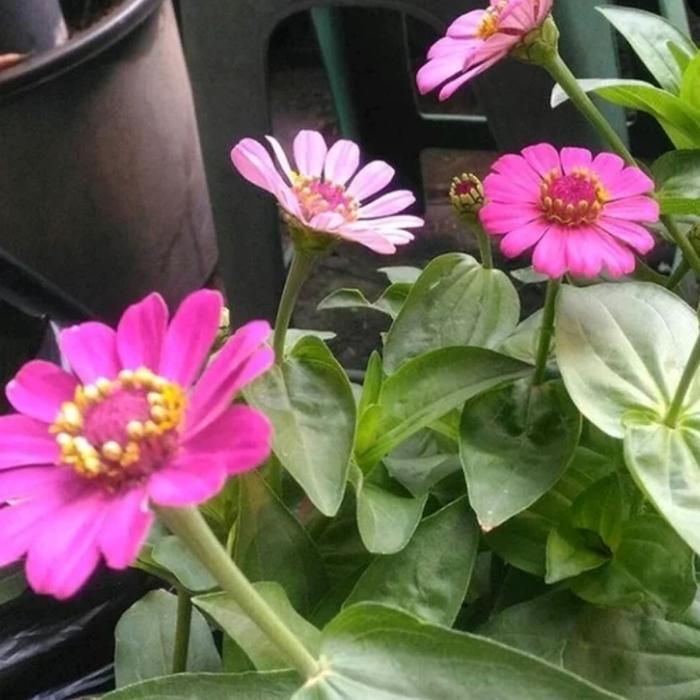 Tanaman Hias Bunga Kertas Zinnia Kembang Kertas Zinnia Shopee Indonesia