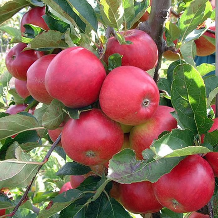 89 Gambar Pohon Apel Berbuah Lebat Paling Hist
