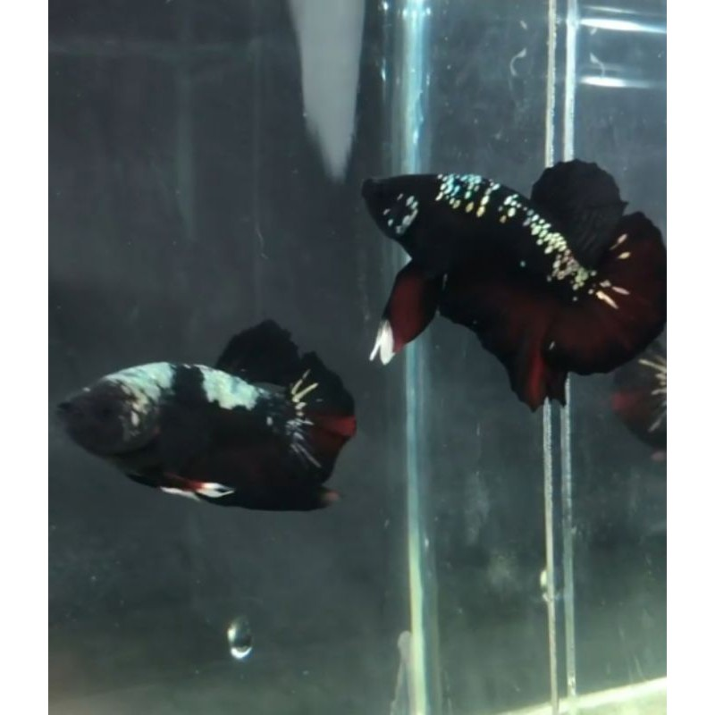 Ikan Cupang Avatar Gold Baby Shopee Indonesia