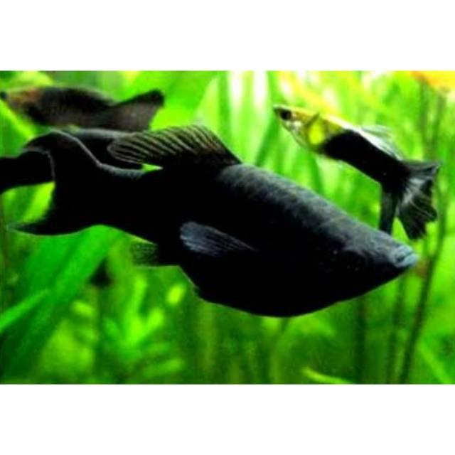 Ikan Hias Black Moly Aquascape Shopee Indonesia