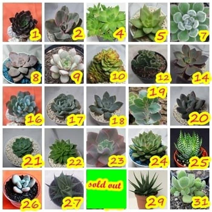 Hot Sale Kaktus Cactus Succulent Sekulen Tanaman Hias Bunga Murah Taman