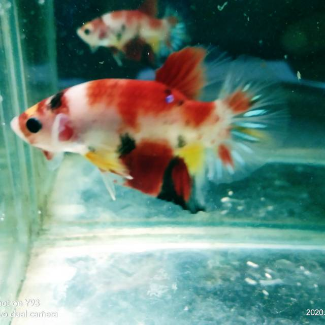 Ikan Cupang Nemo Galaxy Shopee Indonesia