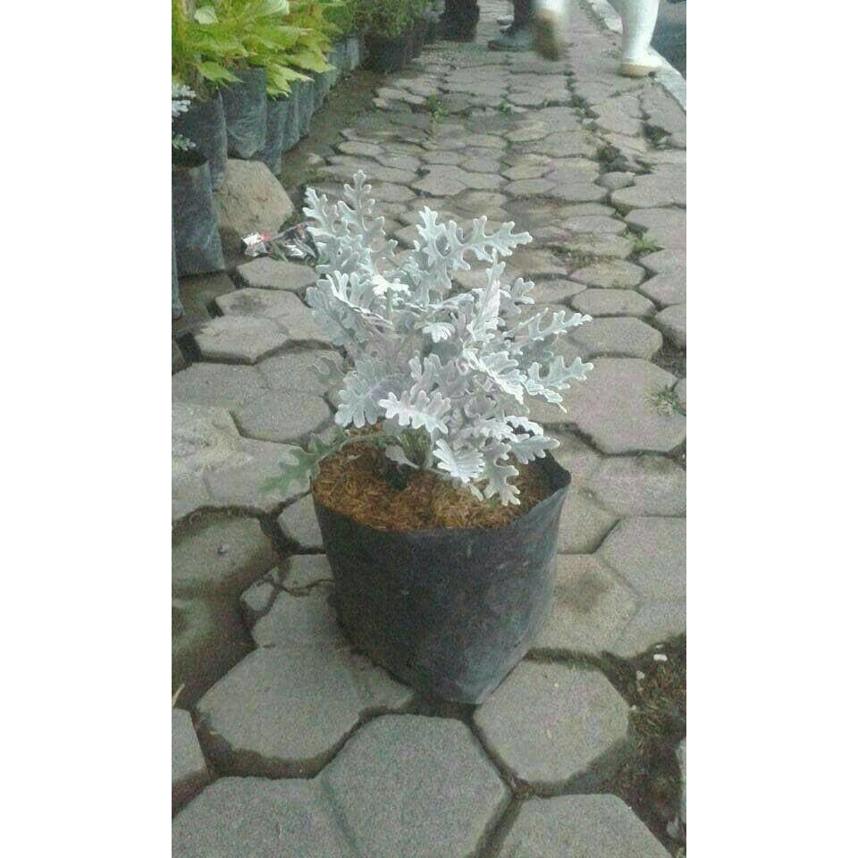 Bukan benih !! Tanaman Hias Dusty Miller/Bunga Perak/Putri Salju | Shopee Indonesia