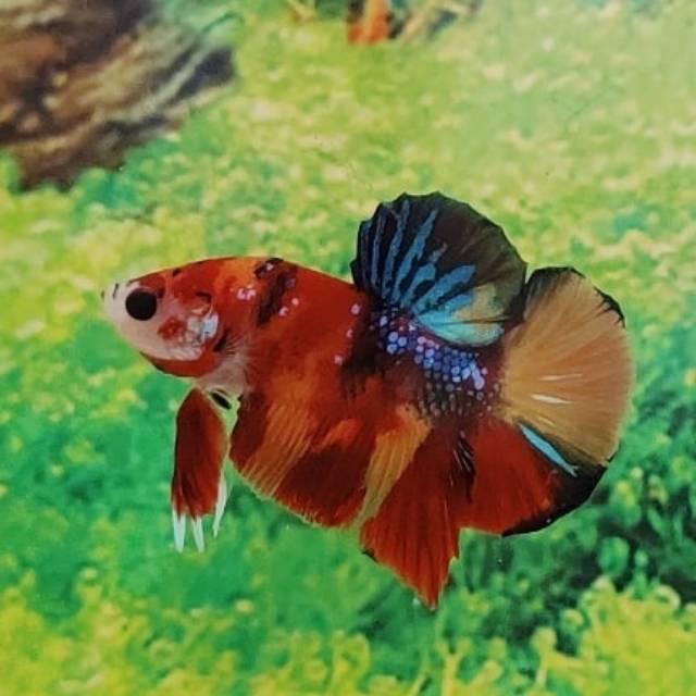 Ikan Cupang Male Grade Nemo Emerald Candy Shopee Indonesia