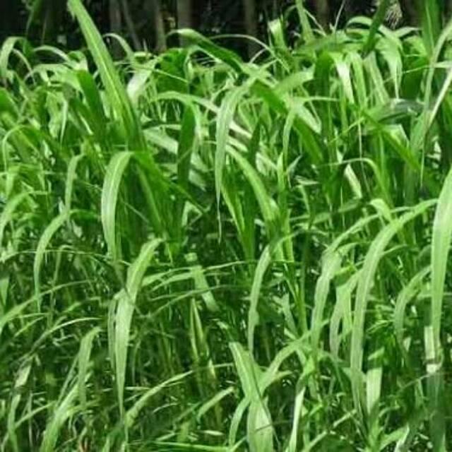 Rumput Raja / King Grass .