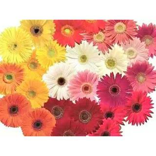 4000+ Wallpaper Bunga Gerbera  Terbaik