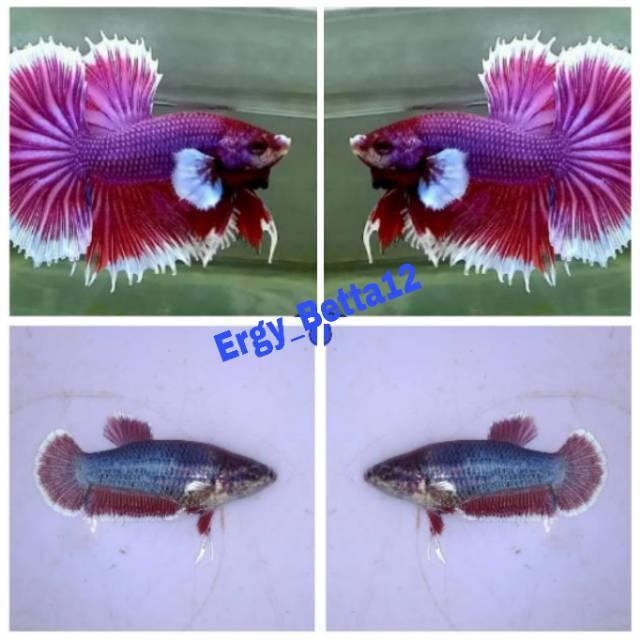 Ikan Cupang Plakat Lavender Sepasang Male Dan Female Shopee Indonesia