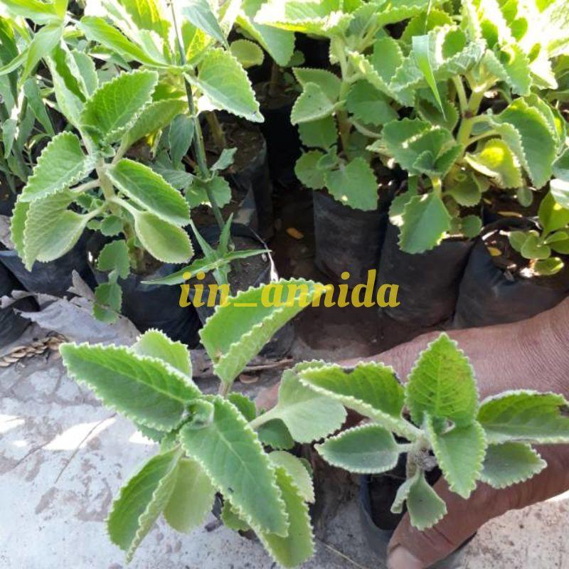 Tanaman Herbal Jinten Hitam Shopee Indonesia