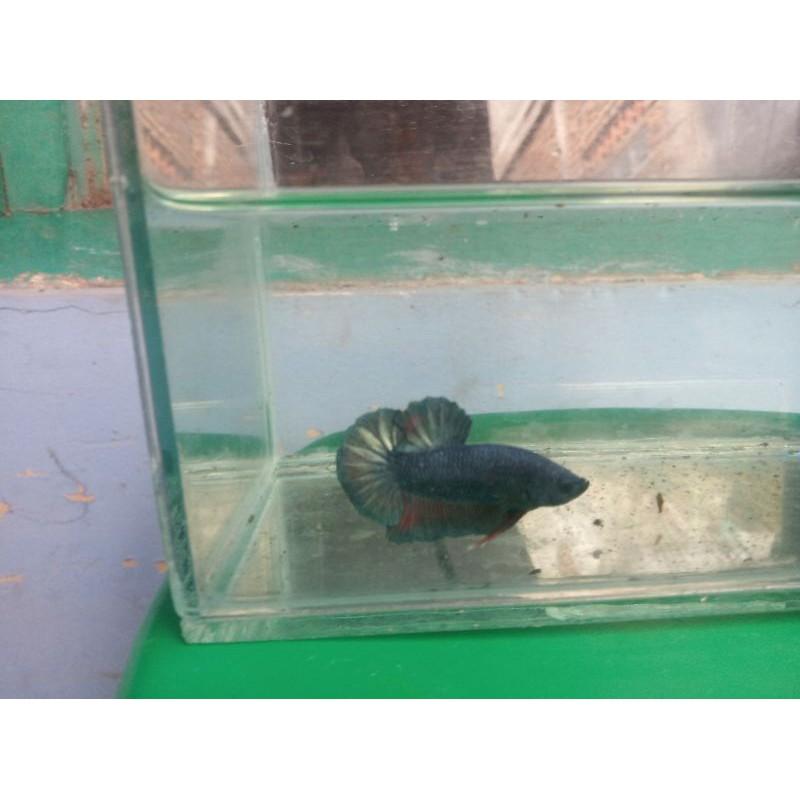 Ikan Cupang Avatar Gold Besgel Shopee Indonesia