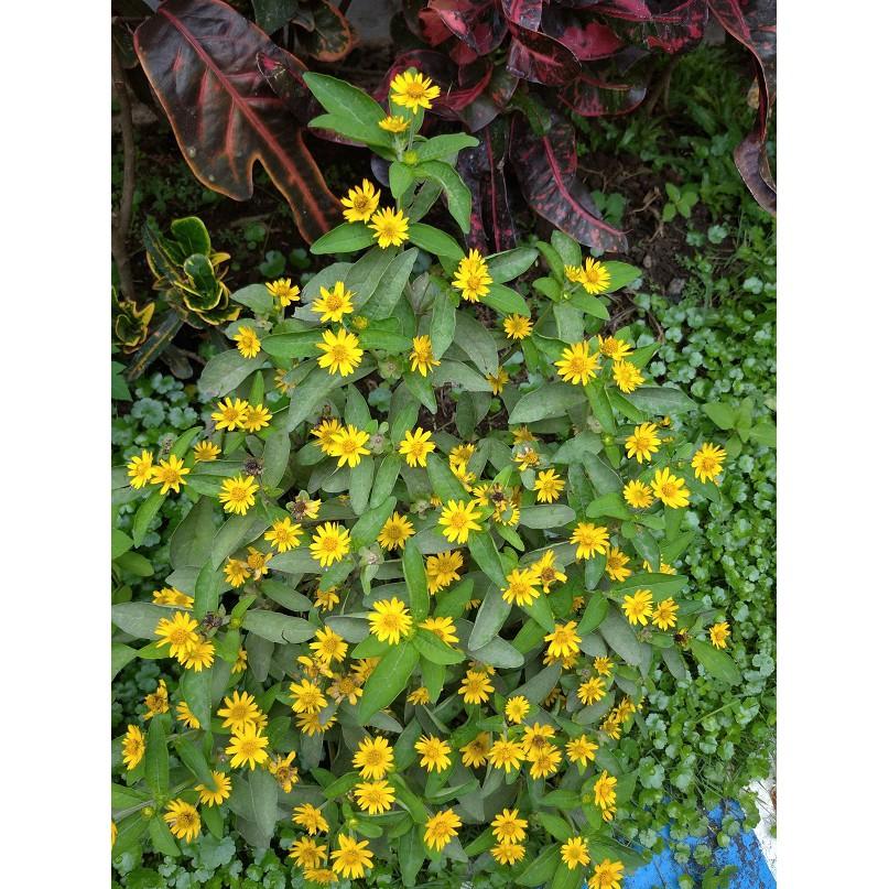 Tanaman Hias Melapodium Kuning Bibit Bunga Matahari Kecil Minimal Order 8 Pohon Shopee Indonesia
