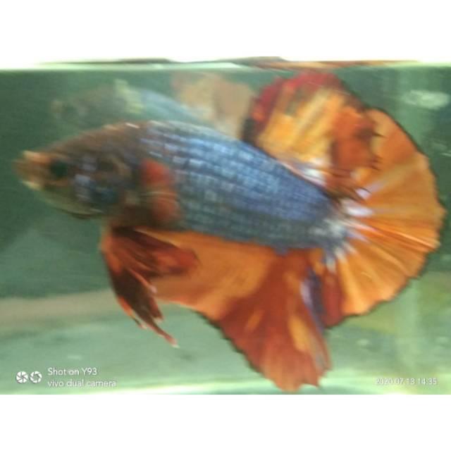 Ikan Cupang Nemo Cooper Line Giant Shopee Indonesia
