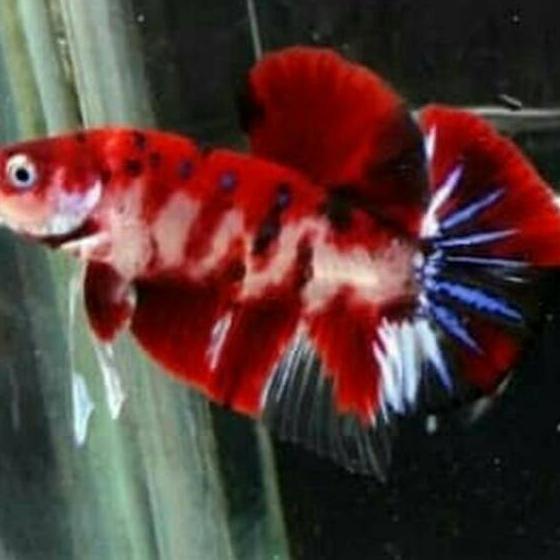 Rtl 194 Best Seller Anakan Burayak Ikan Cupang Koi Nemo Emerald Merah Kuning Galaxy Male Jantan Shopee Indonesia