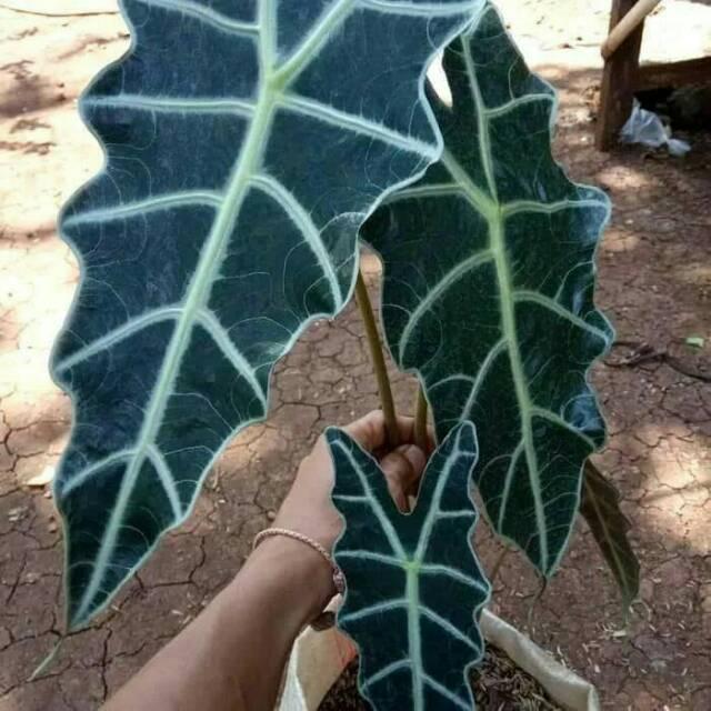 Tanaman hias keladi amazon - pohon keladi amazon