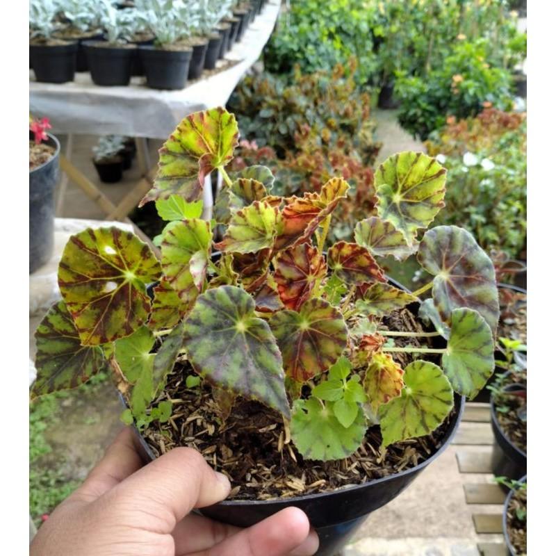 tanaman hias begonia tiger / begonia karpet