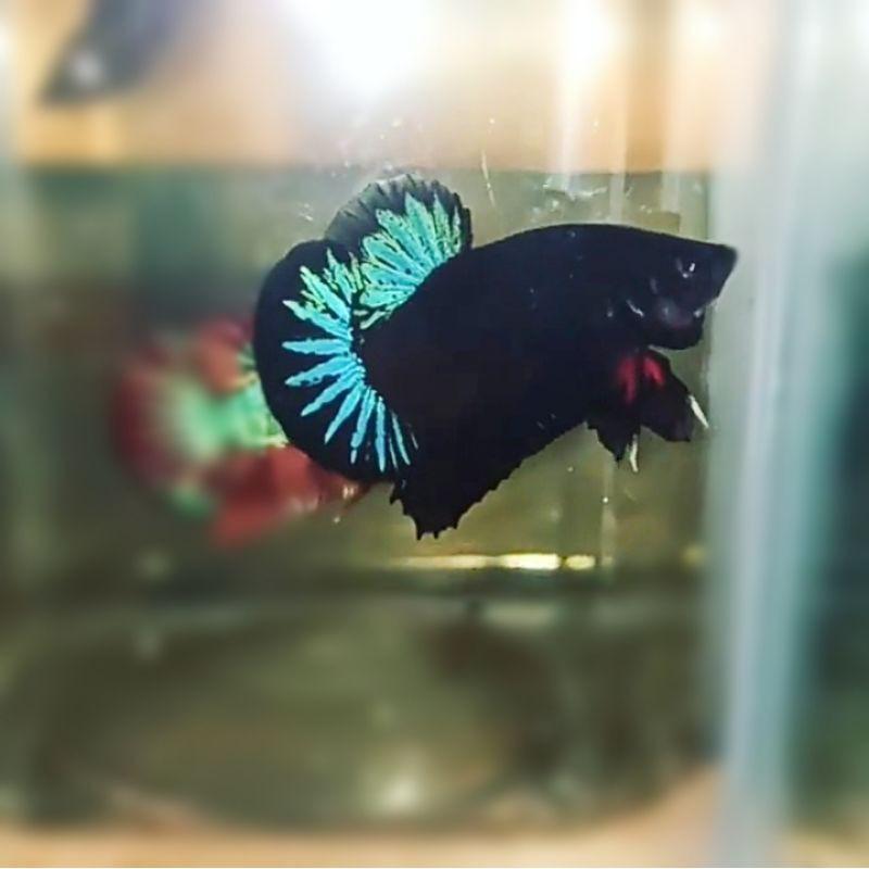 1 Pasang Ikan Cupang Avatar Kalimaya Gordon Siap Breed Shopee Indonesia