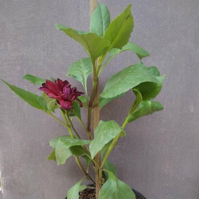 Tanaman Bunga Dahlia Semua Warna Shopee Indonesia