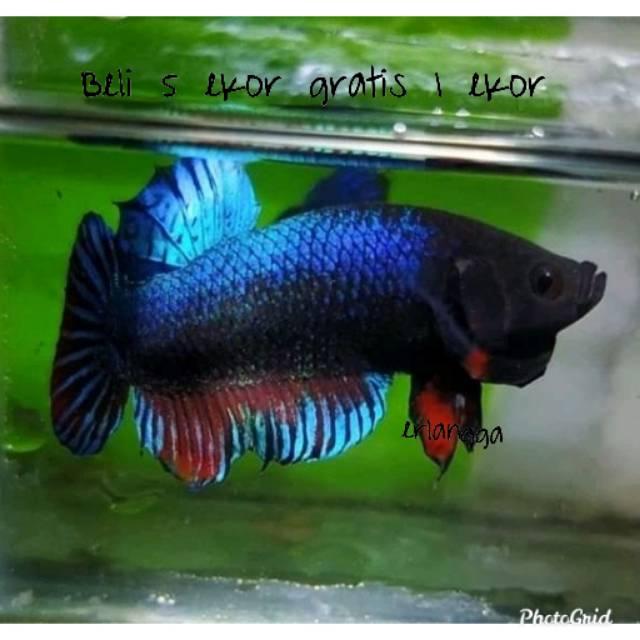 Ikan Cupang Adu Mds Medan Super Original Hiasan Aquarium Aquascape Bukan Cupang Hias Shopee Indonesia