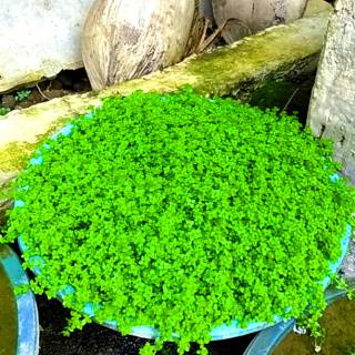Moss Darat Paludarium Weeping Emersed Moss Shopee Indonesia