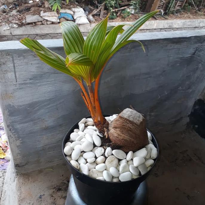 Tanaman Bonsai Kelapa Kuning 1 Set Plus Pot Shopee Indonesia