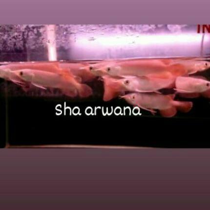 arwana super red ikan arwana sr