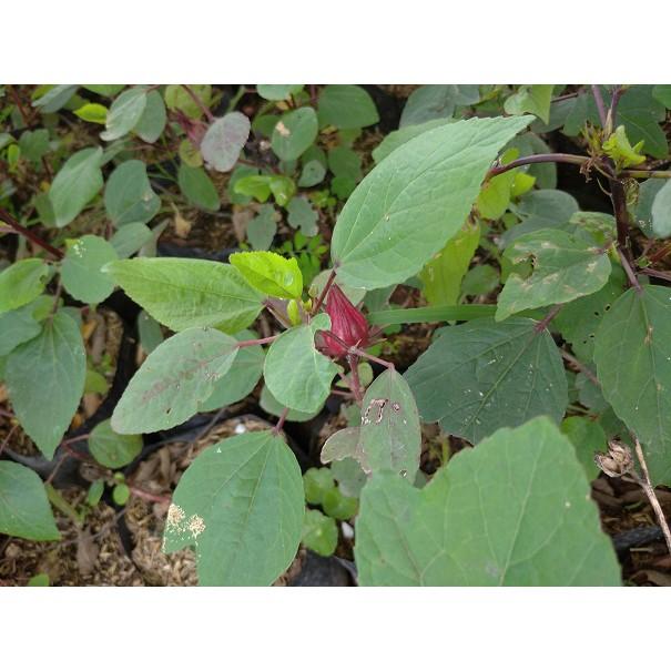 Bunga Rosela Tanaman Bibit Bunga Rosella Hibiscus Sabdariffa Minimal Order 4 Pohon Shopee Indonesia