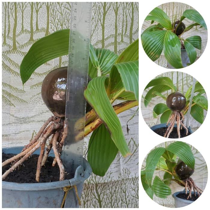 bonsai kelapa minion unik01