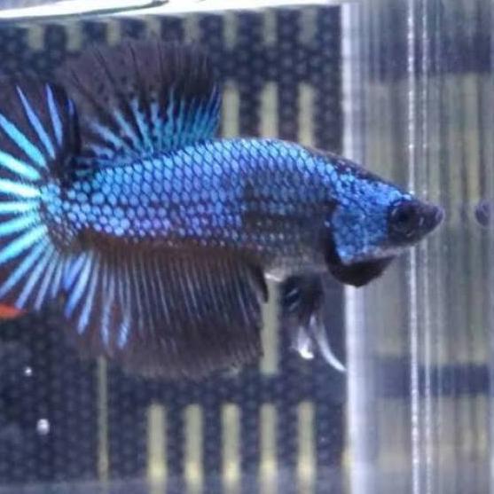 Harga Spesial Ikan Cupang Bbl Line Avatar Shopee Indonesia