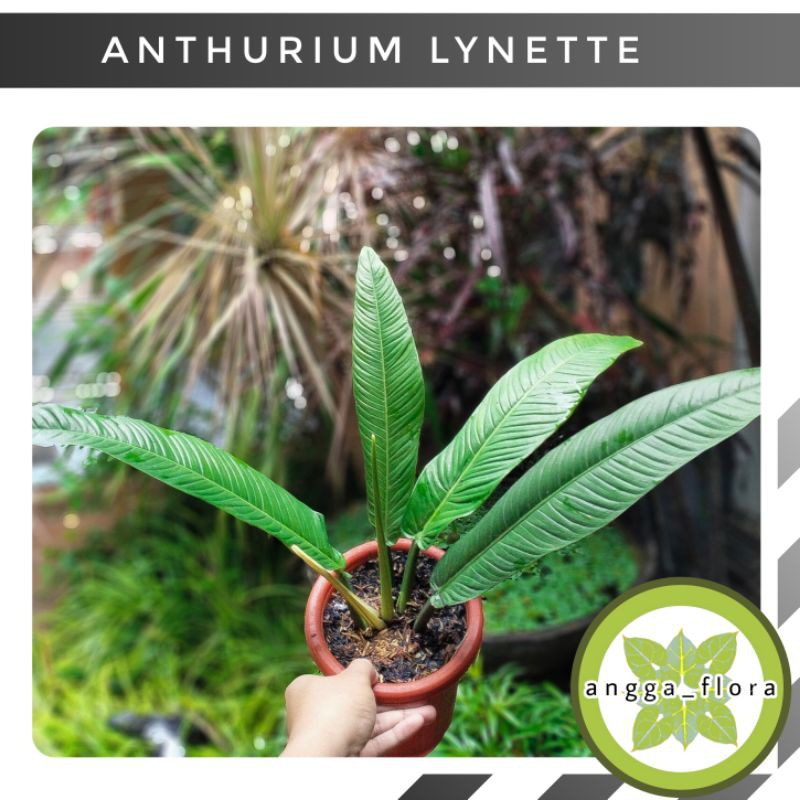 anthurium linet~tanaman hias atorium linet