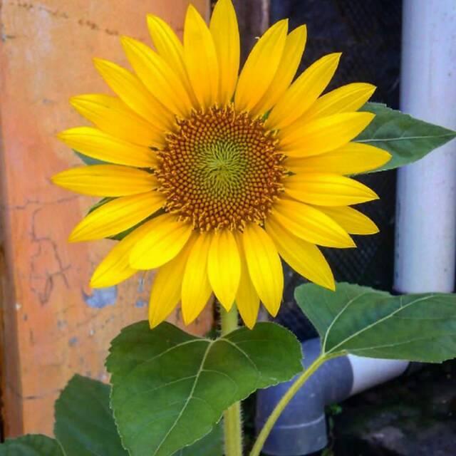 Biji Bibit Benih Sunflowers Lokal Bunga Matahari Kuning Shopee Indonesia