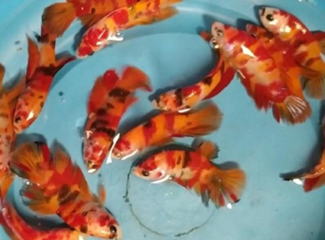 Ikan Cupang Nemo Full Block Indukan Cupang Nemo Cupang Nemo Galaxy Cupang Nemo Multicolor Shopee Indonesia