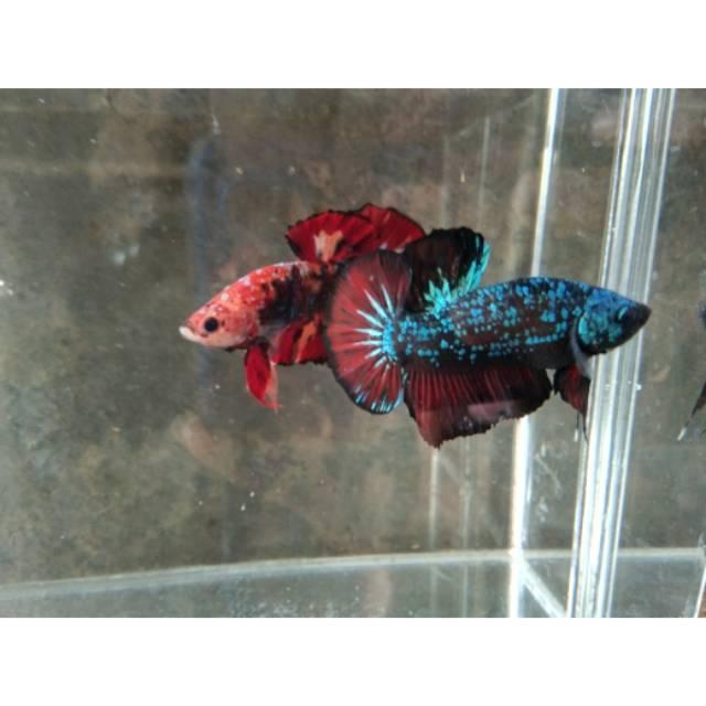 Ikan Cupang Avatar Gordon Shopee Indonesia