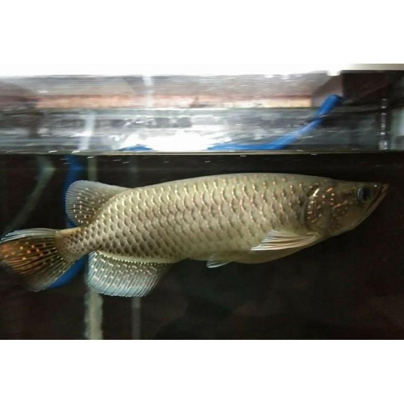 Ikan Arwana Jardini Green Pearl 23-25 Cm. Ikan Arwana Jardini Batik. Jardini Batik.