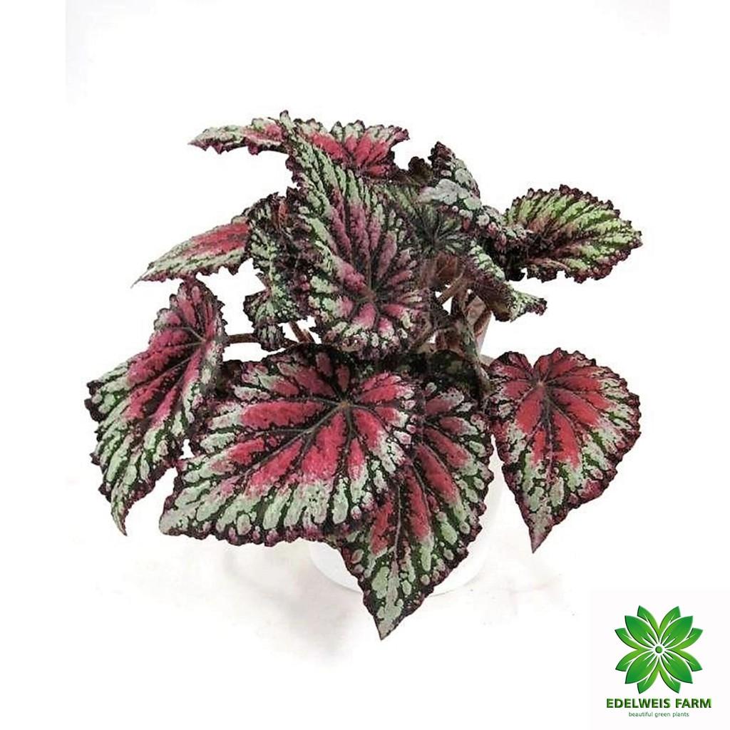 TANAMAN HIAS BEGONIA REX / Begonia daun