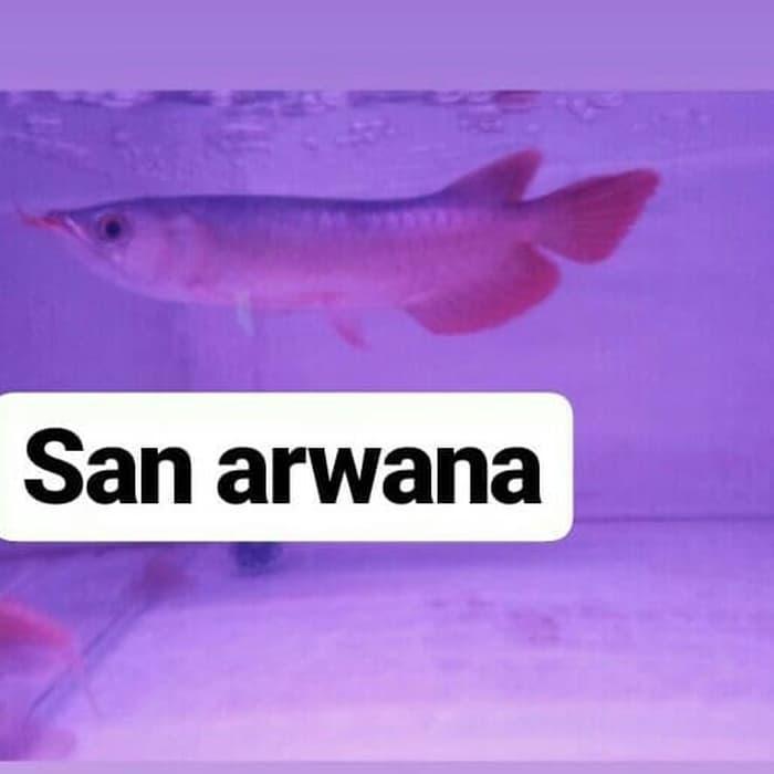 [ Ikan ] ikan arwana super red arwana super red blood Perawatan