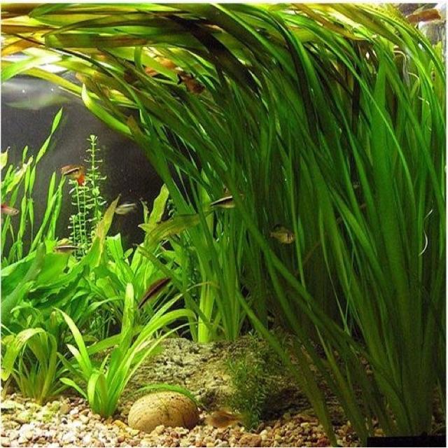 Valisneria Nana Tanaman Baground Aquascape Biotope Aquarium Shopee Indonesia