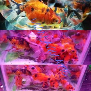 Ikan Mas Koki Goldfish Demekin Calico Pancawarna Hiasan Aquarium Aquascape Kolam Ikan Hias