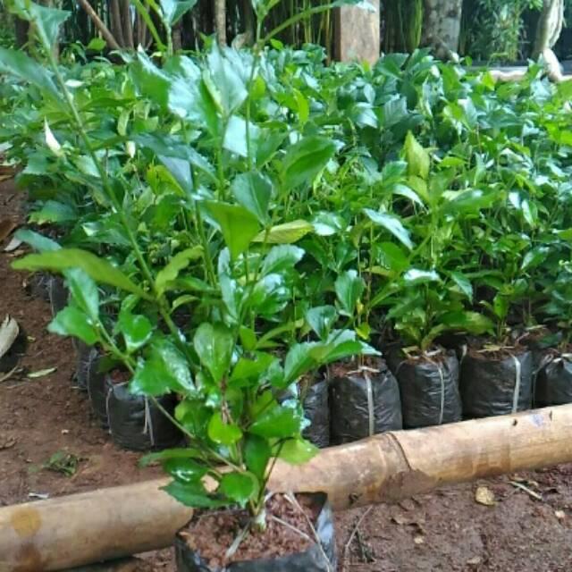 Pohon Teh Tehan Tanaman Pagar Tanaman Hias Bibit Tanaman Shopee Indonesia